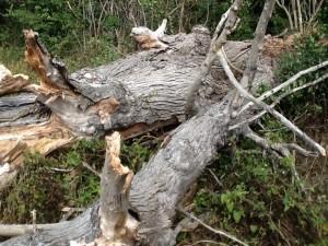 Fallen giant - the last mature English Elm in Brampton has been felled