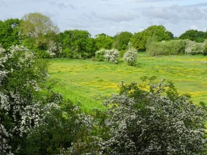 Lush grass , Buttercups and hawthorn blossom garland the May meadow